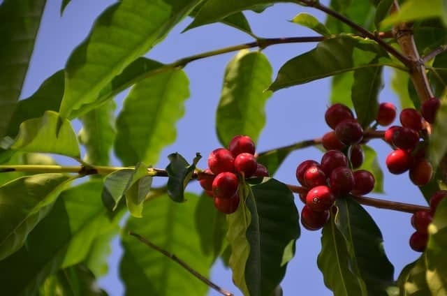 Kona Coffee Cherries