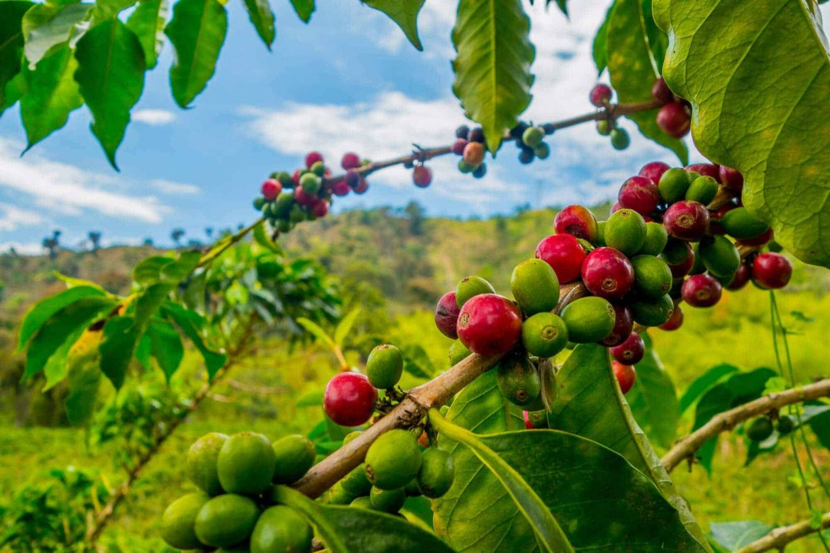 what is direct trade coffee