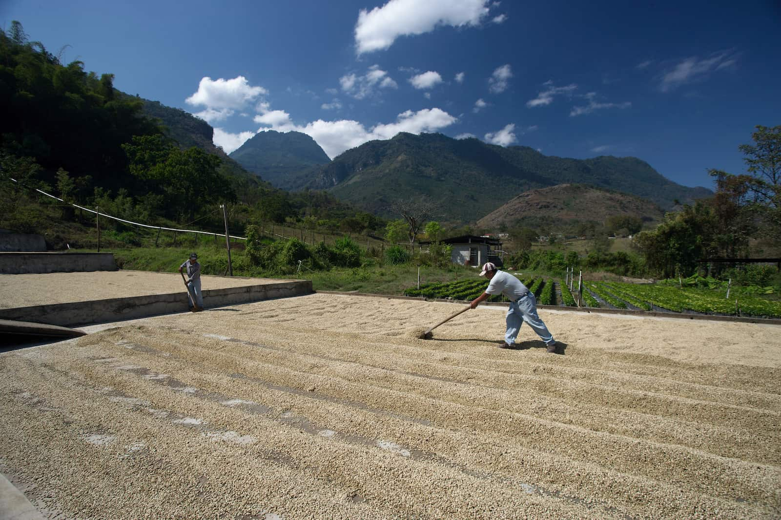 drying coffee beans in guatemala