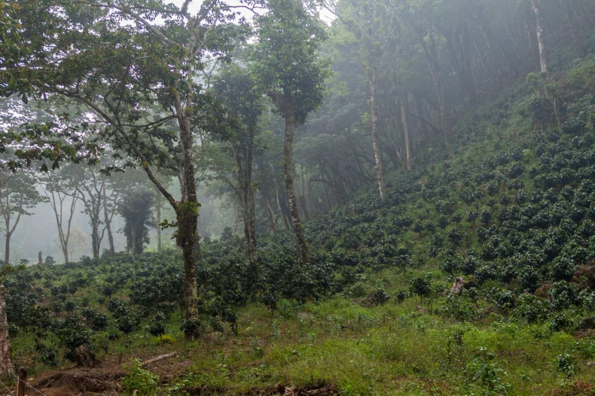 Coffee plantation near Yojoa lake, Honduras
