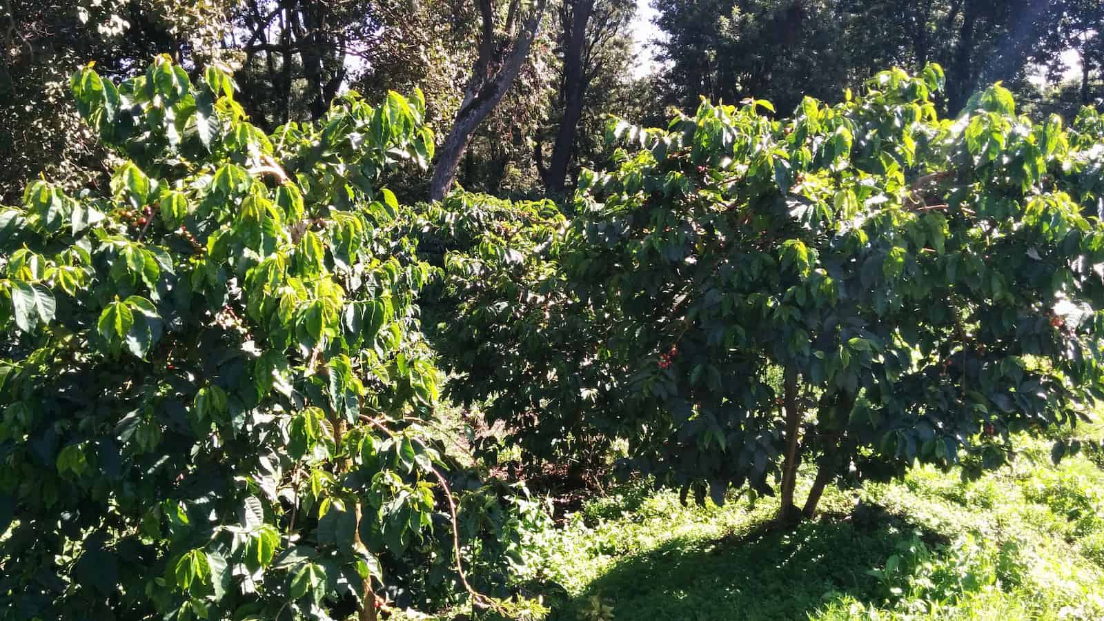 coffee trees in kenya