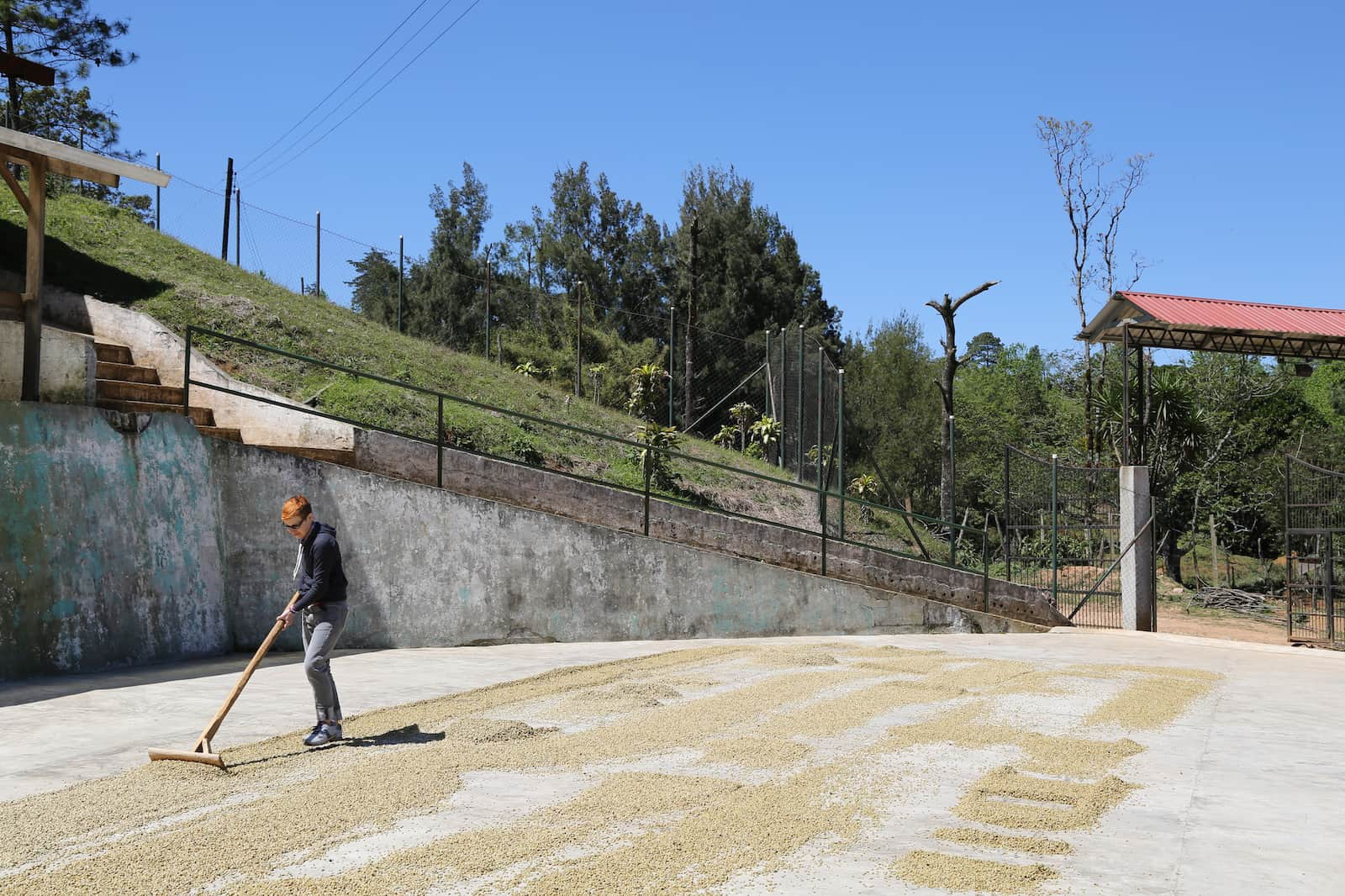drying coffee in honduras