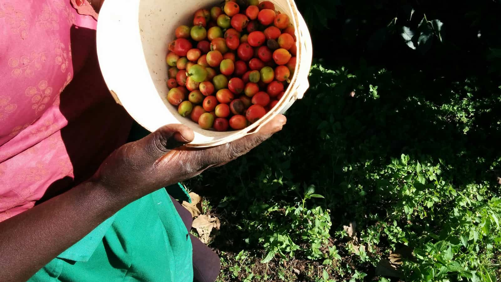 picking coffee in kenya