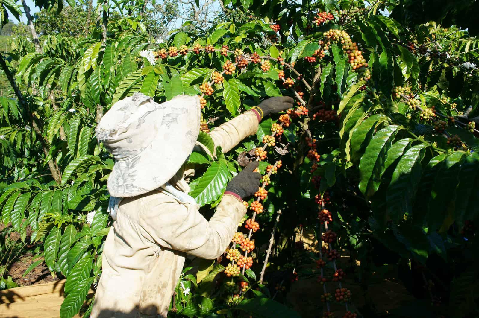 Vietnamese farmer pick coffee bean