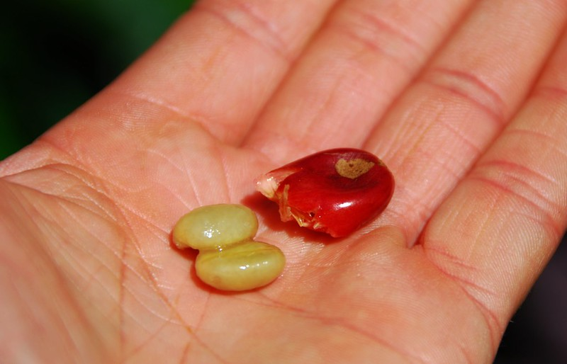 Coffee Cherry Seed and Cherry