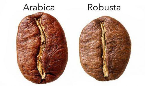 arabica and robusta coffee bean